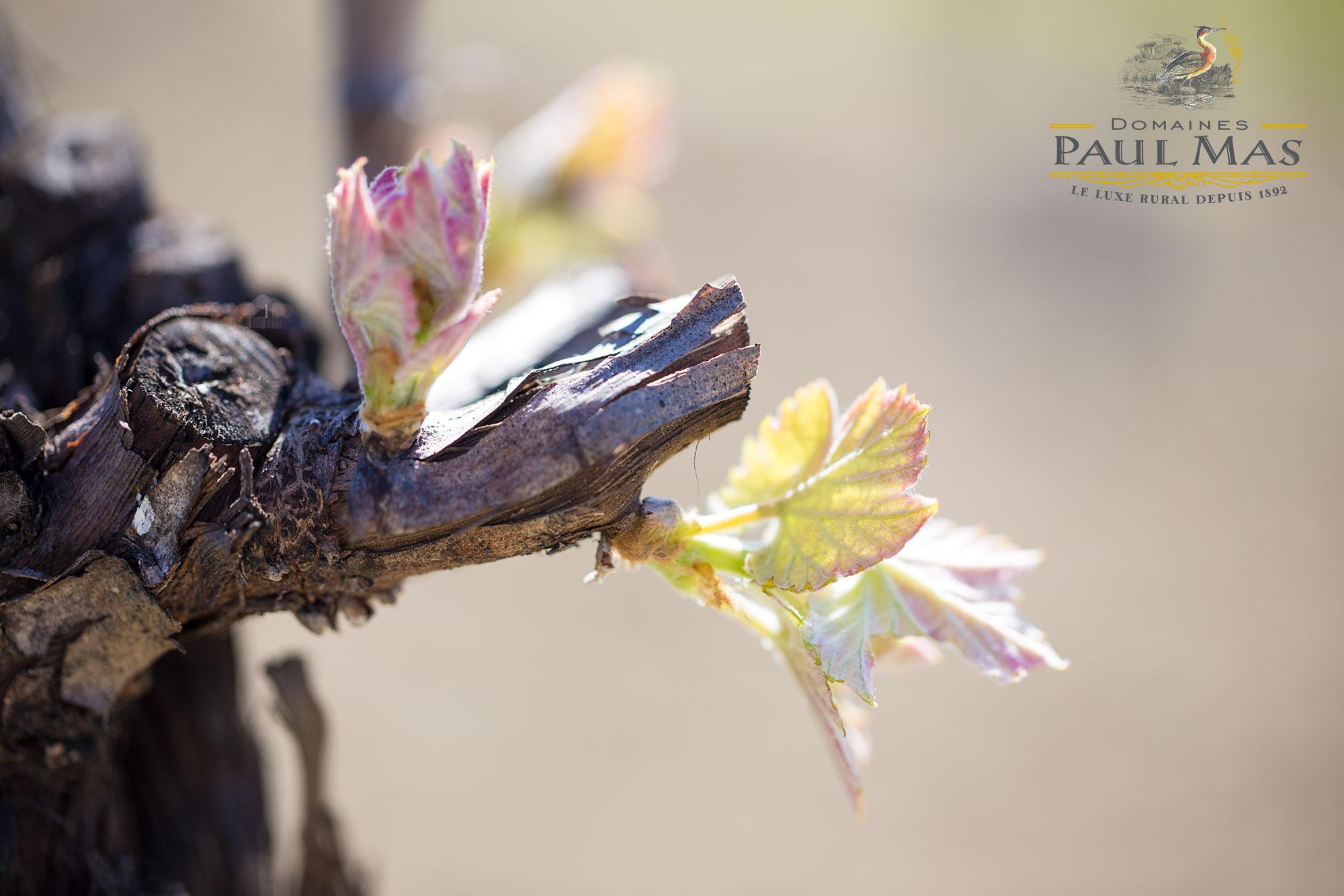bourgeon vigne merlot languedoc