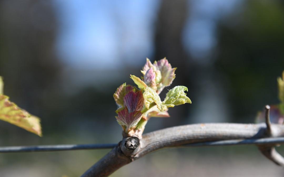 C'est parti pour le millésime 2016 dans nos vignes en terroir de Languedoc