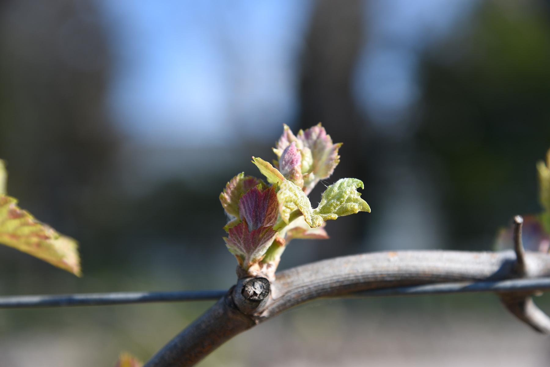 debourrage ou debourrement vigne languedoc